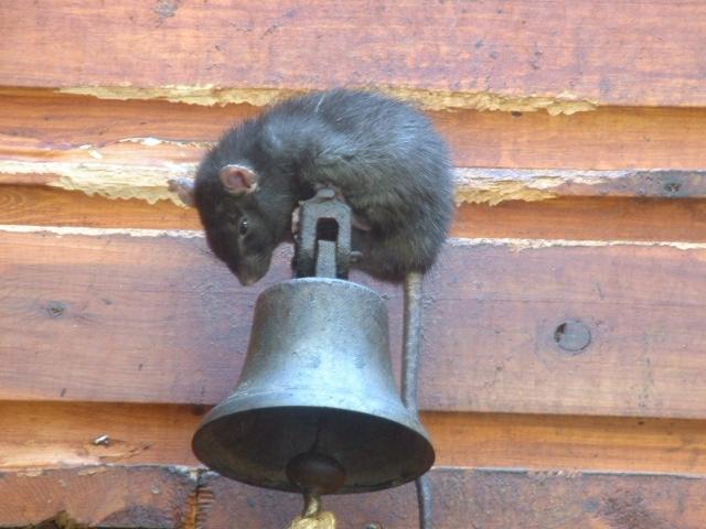 ratas empaticas