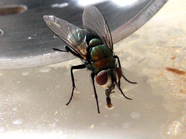 el calor y la genetica-mosca