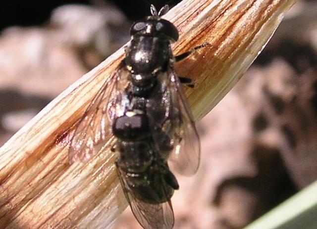 sexo que mata-moscas