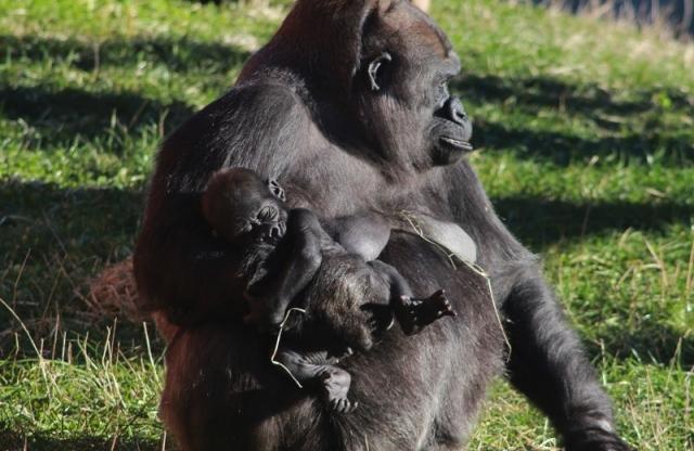 extincion primates