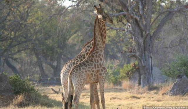 Jirafa imagen de UICN