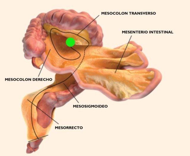 mesenterio, anatomia, cuerpo humano